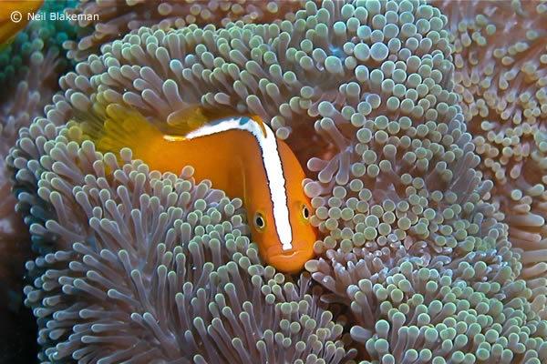 neils-punk-anemone